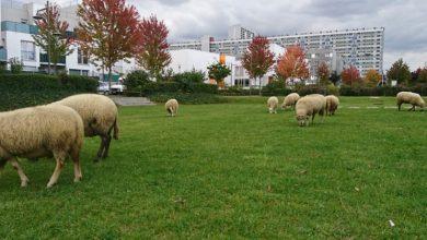 moutons aux Mureaux